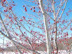 Trophy Trees - Hawthorns - winter food for deer and turkeys
