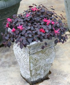 """Jazz Hands Mini is a ground covering dwarf variety, reaching only 12"""" in height,  with black-purple foliage that holds its color all season long. Showy pink flowers contrast with the dark, rich leaves. It is a wonderful little plant for the front of the border, or used in a decorative container. Hardy to zone 7--a fave of southern gardeners. Garden Shrubs, Landscaping Plants, Shade Garden, Florida Landscaping, Landscaping Ideas, Small Shrubs, Large Plants, Container Plants, Container Gardening"""