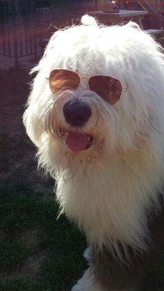 Cool Old English Sheepdog!!