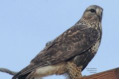 Hawk of winter: Rough-legged Hawk
