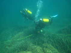 Volunteer divers following transect over seagrass beds