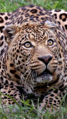 african leopard iphone 5 wallpaper