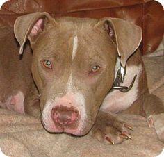 Kirkland, WA - Pit Bull Terrier Mix. Meet Baby Girl, a dog for adoption. http://www.adoptapet.com/pet/12675257-kirkland-washington-pit-bull-terrier-mix