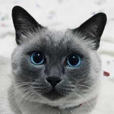 I Was a Dog Person -- Until a Tiny Siamese Kitten Crawled onto My Lap and Fell Asleep | I was hooked. My husband was, too, after the little runt turned into a beautiful blue point. | Catster #cat #siamese