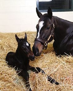 Zenyatta and her new colt - Gorgeous Mama and Baby!