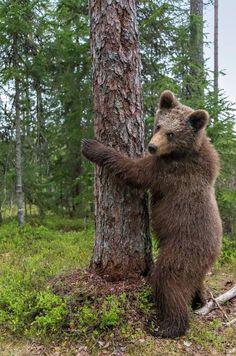 Karhun kohtaaminen öisessä metsässä antoi suunnan Kimmon elämälle | m.iltalehti.fi