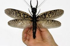 World's Largest Aquatic Insect Discovered | IFLScience