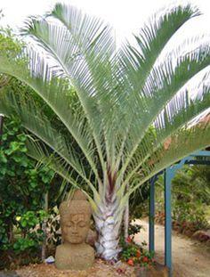 Triangle Palm - Dypsis decaryi - California Palm Nursery