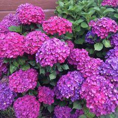The most beautiful summer hydrangeas. X #flowers #summer #garden