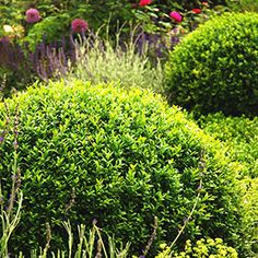 Spring Hill Nurseries Winter Gem Boxwood (Buxus) Hedge Kit, Live Broadleaf Evergreen Plants, 12 inches tall - The Home Depot Boxwood Hedge, Evergreen Shrubs, Trees And Shrubs, Green Velvet Boxwood, Landscaping Shrubs, Landscaping Ideas, Box Wood Shrub, Gardens, Buxus