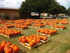I die for pumpkin patches Pumpkin Patch Farm, Pumpkin Carving, Pumpkin Patches, Autumn Decorating, Pumpkin Decorating, Decorating Ideas, Winter Home Decor, Winter House, Pumpkin Patch Pictures