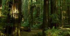 in the redwoods - Google Search