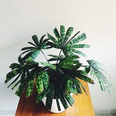 When I first got my Licuala mattanensis var. paucisecta (Licuala 'mapu'), the seller told me to put them rather in deep shade and not repot… Foliage Plants, Potted Plants, Green Plants, Tropical Plants, Decoration Plante, Plants Are Friends, Perfect Plants, My Secret Garden, Ficus