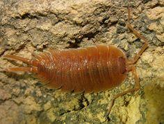 Erweiterung der Asselsammlung des Forums - Crustacea, Asseln und andere Krebstiere - Insektenfotos.de-Forum
