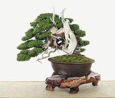 Juniperus chinensis by Chao-Lin Wang