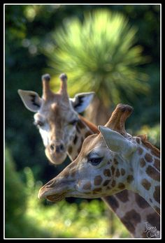 """Giraffes on a break from kissing. <3 """"Who me?"""" giraffe looking at me and shakes his head. <3"""