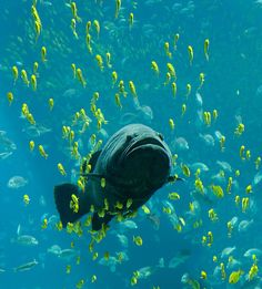 Like starling murmurations, schooling fish are one of the world's most wondrous natural phenomena. Not to be confused with shoaling fish (which refers to fish who gather to swim together socially), schooling fish are defined as a large group of fish that swim synchronously.