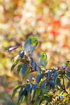 Japanese White-eye メジロ