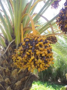 Dates from the Draa Valley by Zagora #Morocco are sweet, absolutely delicious.