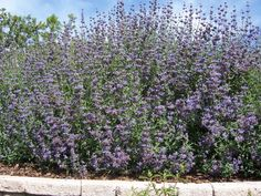 cleveland salvia - Google Search