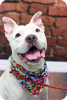 Annie - URGENT - Animal Care & Control Team of Philadephia in Philadelphia, Pennsylvania - ADOPT OR FOSTER - 2 year old *DEAF* Female American Pit Bull Terrier Mix - I am housetrained, in need of an experienced adopter, up to date with shots, and good with dogs.