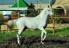 Tersk stallion Ozornik