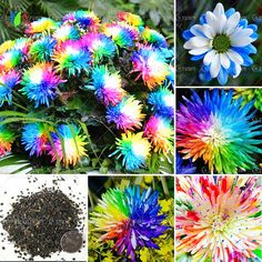 100/bolsa de Arco Iris de Semillas de Flores de Crisantemo, color raro, nueva llegada Jardín de DIY planta de flor