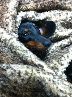Burrow. . .miss my doxie
