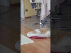 Shih-tzu maluco sally - YouTube