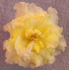 Mellow Yellow African Violet