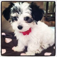 My new love...morkie-poo