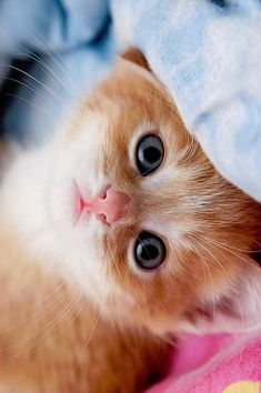 Latest Photos Of Beautiful Cats And Kittens Cute Cats And Kittens, I Love Cats, Crazy Cats, Kittens Cutest, Orange Kittens, Fluffy Kittens, Ragdoll Kittens, Tabby Cats, Bengal Cats
