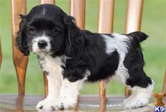 Black and White Cocker Spaniel Puppy. (Esmeralda) If this isn't cute...idk what is!