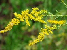 Goldenrod flowers - state flower of Kentucky