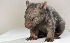 Yogi the orphaned baby wombat, is seen at the Darraweit Guim Wildlife Shelter in Melbourne, Australia. The tiny wombat was found in early February when a couple noticed one of their alpacas staring intently at something on the ground.Picture: Craig Borrow/Newspix / Rex Features  Quelle: telegraph.co.uk