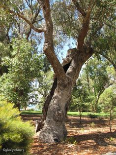 Ancient Tuart Tree E