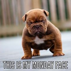 Monday face. English bulldog puppy.