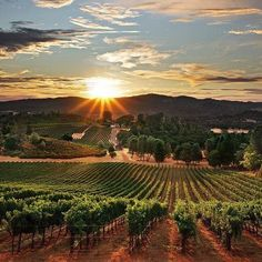 beautiful vineyard.  I want to turn my front yard into this!  And why not?  We've got the space!