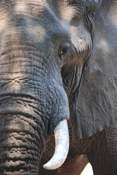 bull elephant face tusk closeup About of the African population is poached yearly. Wild Elephant, Asian Elephant, Elephant Love, Elephant Art, Elephant Pictures, Elephants Photos, Baby Elephants, Baby Cows, Elephant Photography