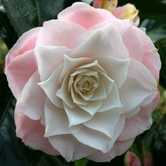 ~Camellia 'Donnan's Dream' (U.S., 1977)
