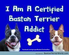 Certified Boston Terrier Addict – Boston Terrier Pictures & Tips from BostonTerrierWorld.com