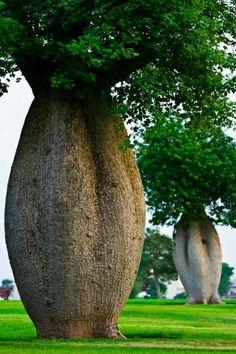 Toborochi Tree - Amazing!  Nature