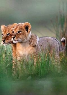 Lion cub with paw around sibling
