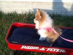 Puppy in wagon.