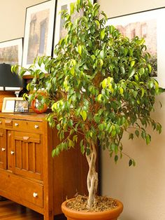 Super easy houseplant you'll love. Ficus tree. Glossy green leaves spread out from an upright woody plant that's available as a single-trunk tree or multistem shrub. Use durable ficus (Ficus spp.) as a tabletop or floor plant depending on its size. Place your ficus where it won't have to be moved all winter, because it doesn't like changes in environmental conditions.  Size: To 1 - 12 feet high and 1 - 10 feet wide  Growing conditions: Medium to bright light; 65 - 75°F; barely moist soil