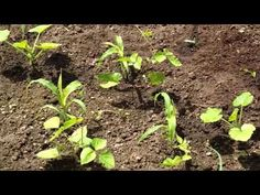 Herb gardening is becoming more and more popular every day, and for a good reason. Herbs have practical value, serve a purpose, and with herb gardening you can actually use your plants. When most people think of herb gardening they Planting Pumpkins, Planting Flowers, Organic Gardening, Gardening Tips, Sustainable Gardening, Indoor Gardening, Garden Site, Corn Plant, Home Vegetable Garden