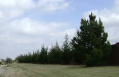 The Eastern Red Cedar Tree grows 1 to 2 feet annually until it reaches a height between 50 and 60 feet at maturity.