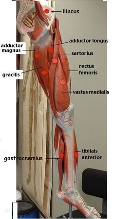 Leg Anatomy, Muscle Anatomy, Anatomy Study, Leg Muscles Anatomy, Leg Muscles Diagram, Muscle Diagram, Arte Com Grey's Anatomy, Workout Bauch, Muscular System