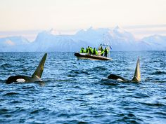 Orca and whale watching in Andenes, Northern Norway | http://www.yourlittleblackbook.me/orca-whale-watching-in-andenes-vesteralen-norway/