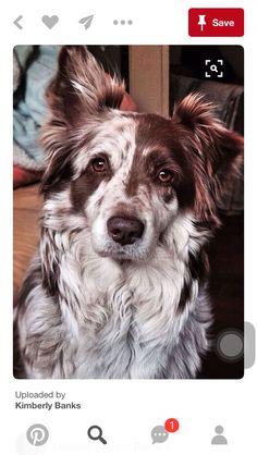 Lindo cão de manchas castanhas e brancas.